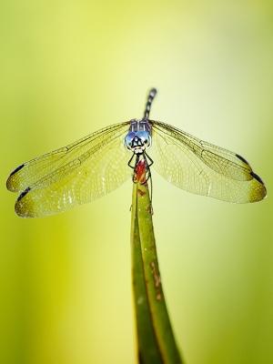 /libélula