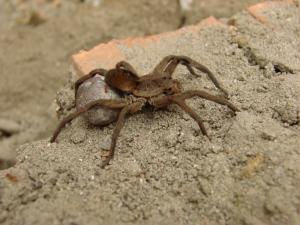 Animais/Aranha de Jardim (lycosa sp)