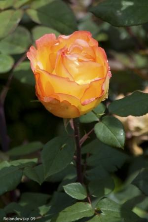 Outros/Rosa