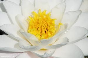 Macro/Nenúfar (Nymphaeaceae)