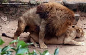 Animais/Sexo dos Leões
