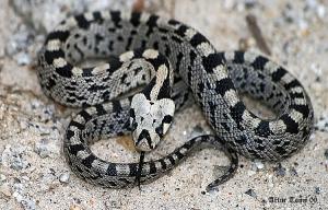 /Cobra Riscada Jovem (Rhinechis Scalaris)