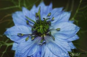 Macro/Flôr Azul