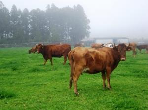 Outros/Gado, Ilha Terceira-Açores