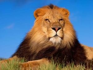 /lion king