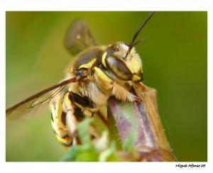 /Olhar de vespa