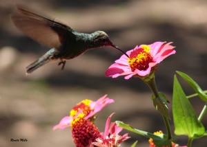 Animais/colibri