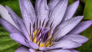 Macro/Flor de lotus