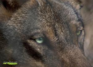Animais/Canis lupus signatus