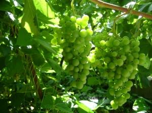 Outros/Uvas verdes
