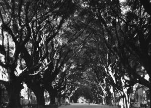 /Túnel de Árvores