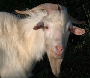 Outros/A Cabra que ri...