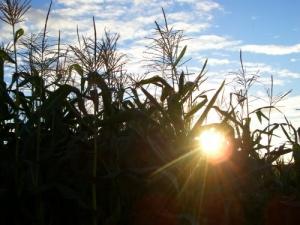 /Sol perdido no meio do milho!