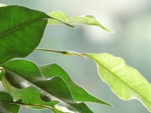 /folhas de uma planta