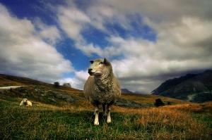 Animais/simplesmente uma ovelha