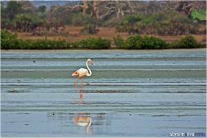 Animais/Flamingo Lesser