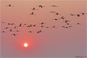 Animais/Flamingos Lesser