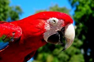 Animais/Papagaio