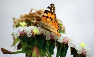 Animais/A borboleta e ...