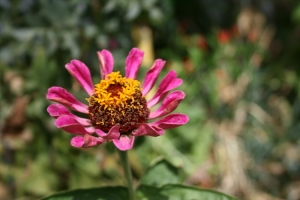Macro/pink flower