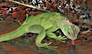 Animais/Mi iguana Jenny...