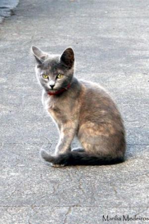 Animais/Grey Cat