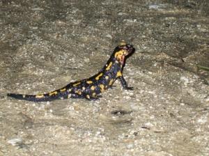 Animais/salamandra