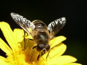 /Syrphidae em flor amarela