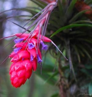 Outros/Bromelia Tillandsia