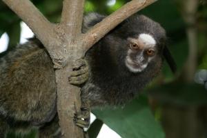Outros/Sagui. Pequeno primata, comum na América Central e