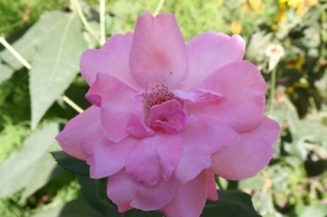 Outros/[Ourique (rosa no miradouro)]