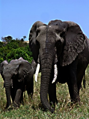 /Elefantes, reserva Masai Mara, Quênia