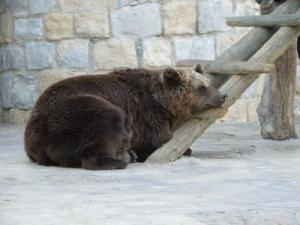 /Urso a descançar