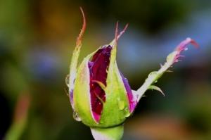 /Botao da rosa