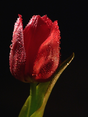 /Tulipa in Red