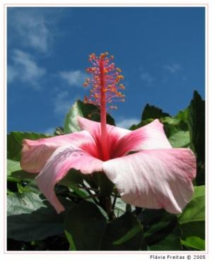 /Hibiscus rosado