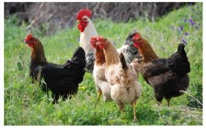 Outros/A fuga das galinhas...