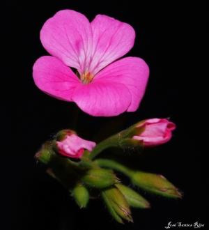 Outros/Flor de malva