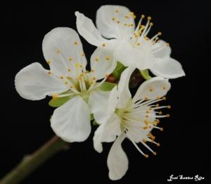 Outros/Flor de ameixeira