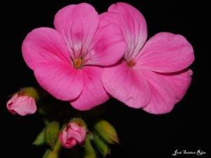 Macro/Flores de malva