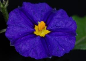 Macro/Flor azul (Solano)