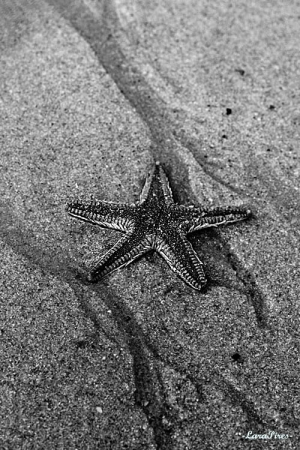 Animais/Starfish