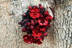 /flor de cacau