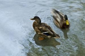 """Animais/""""Around the Duck"""""""