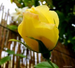 Macro/rosa