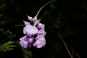 Macro/lilás