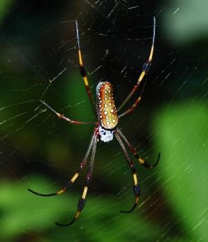 Animais/manto de aranha