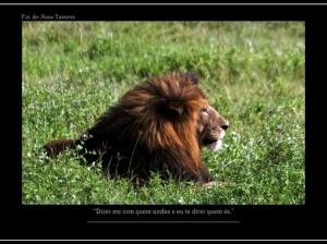 Animais/Leão de juba negra....
