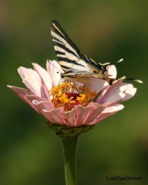 /Flor e borboleta X