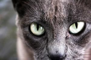 Outros/Gato Açoriano